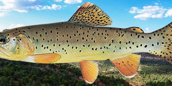 Apache_trout_1200x300